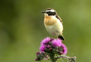 A whinchat